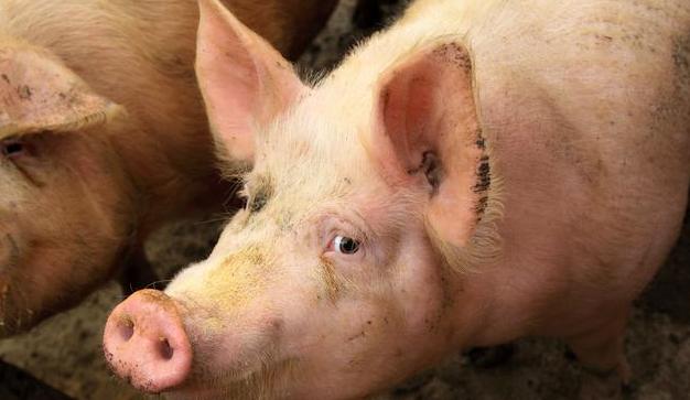 计划投资10亿元 可年出栏生猪30万头