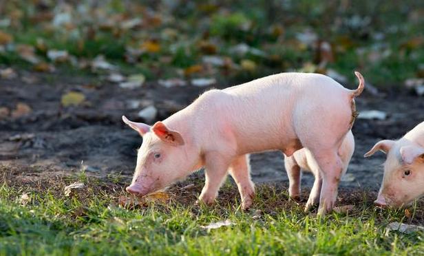 2020年全球养猪企业实力榜,中国占11家