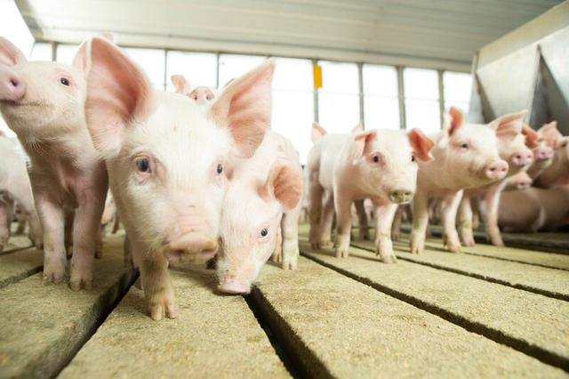 6月7日全国各省市20公斤仔猪价格报价表,高价区与低价区相差明显!