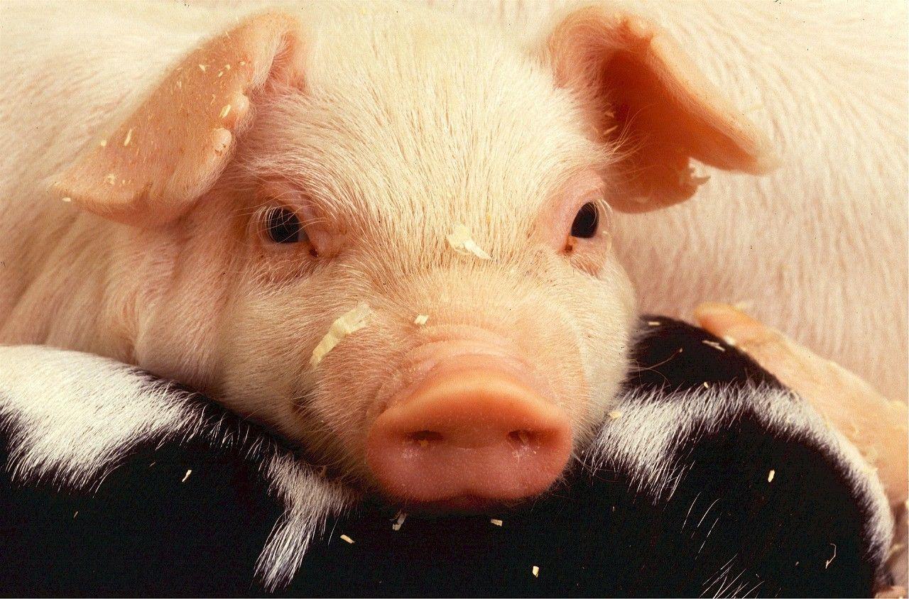 6月7日全国各省市10公斤仔猪价格报价表,土杂猪均价略低,外三元均价最高!