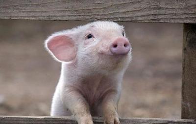 本轮猪价上涨主要有哪些原因?业内预计6月份猪价会大概率上涨!