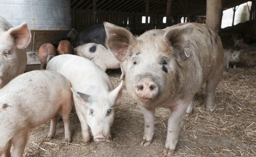 福建漳州:我市出台生猪养殖保险全覆盖工作方案