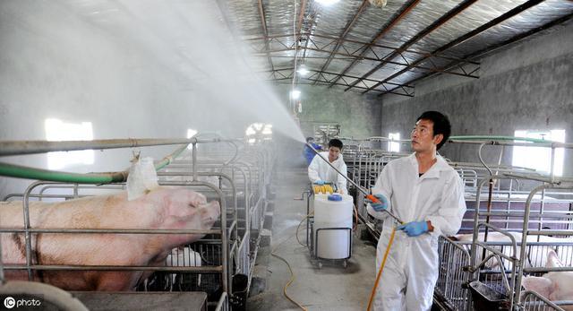 如何使用火碱给猪消毒,这两个小技巧,值得养猪人学习