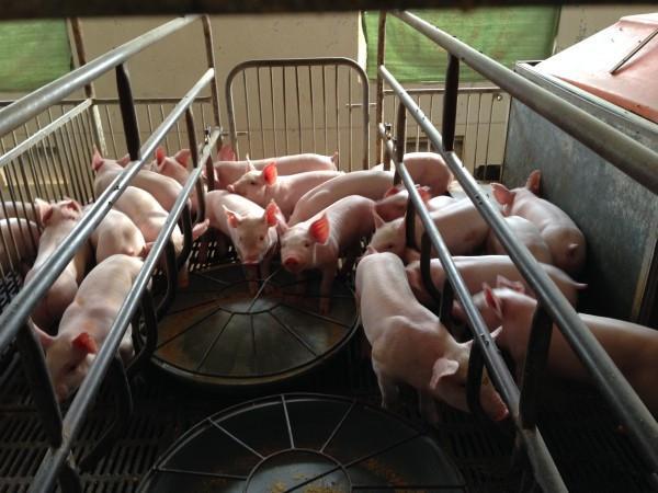 如何控制猪场环境?这个问题很重要!