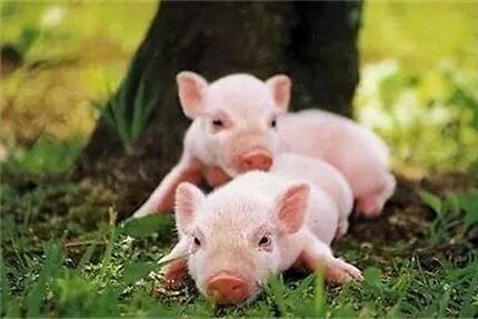 6月8日全国各省市15公斤仔猪价格报价表,湖南两地仔猪价格高达3000元/头!