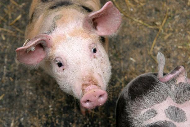 后备母猪的饲养管理:公猪诱情和发情检测