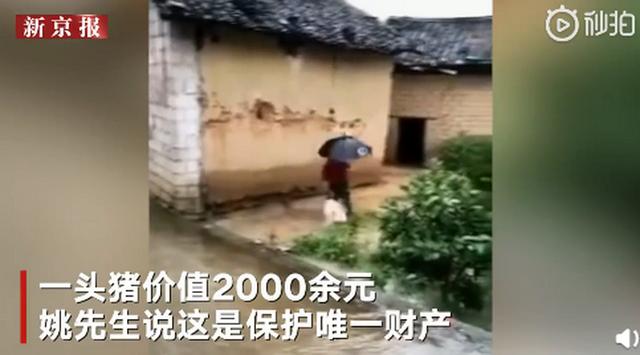 村民与20多头猪同住避洪水:一头猪2000块,保护唯一财产