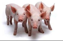 饲料禁抗之后,养殖场实现无抗条件下才能养好猪。您担心吗?