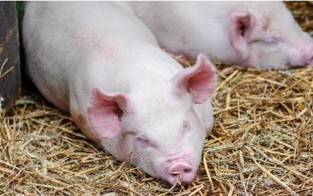 法国生猪出口中国订单激增3倍,生猪订单已经排到了2021年