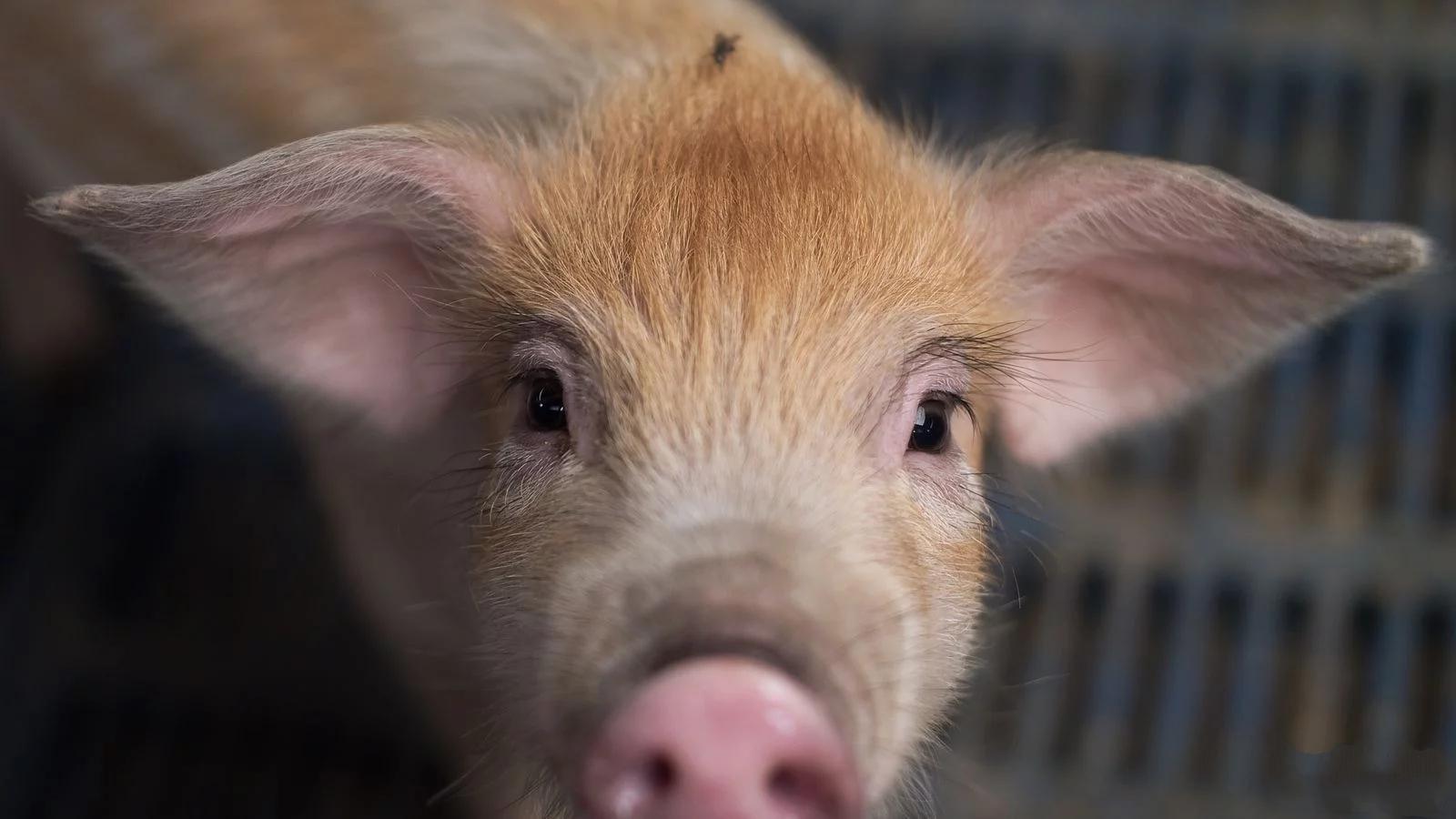 """湖南:生猪产能环比""""八连增"""" 活猪、猪肉均价均比年初下跌近30%"""