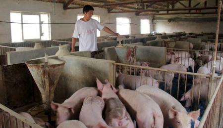 农村养猪:育肥猪在饲养阶段,常见的两种问题及处理方法!