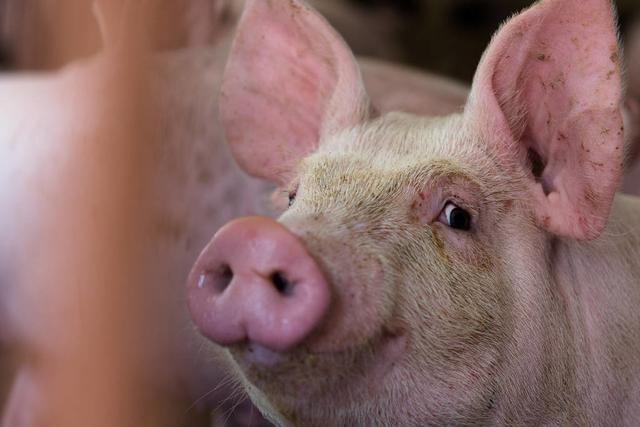 """住着有地暖的""""山间别墅""""""""别墅""""里住的不是人,而是猪,云南的猪将直供上海市场"""