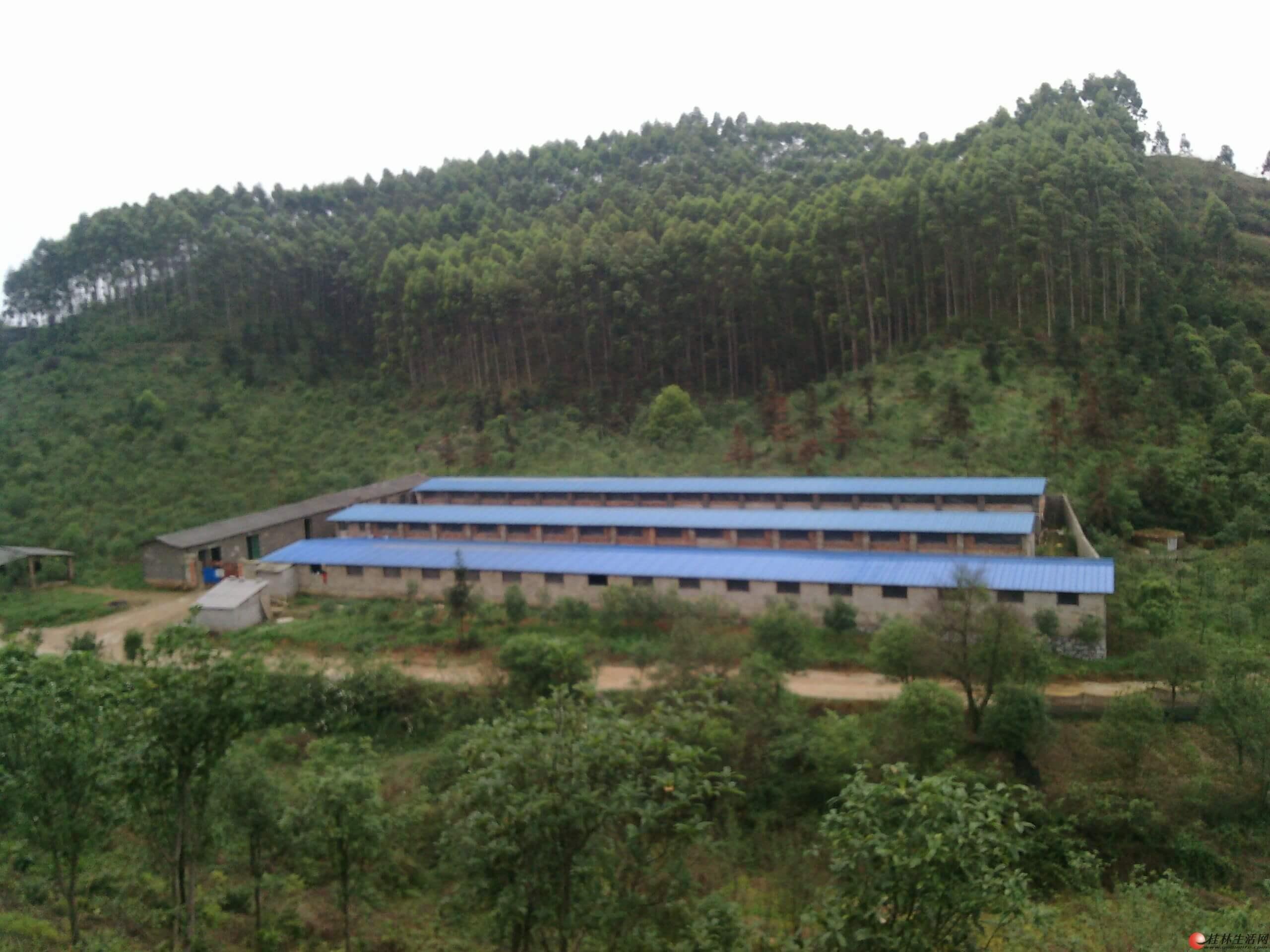广西贵港:港南区恢复养殖生猪8万头