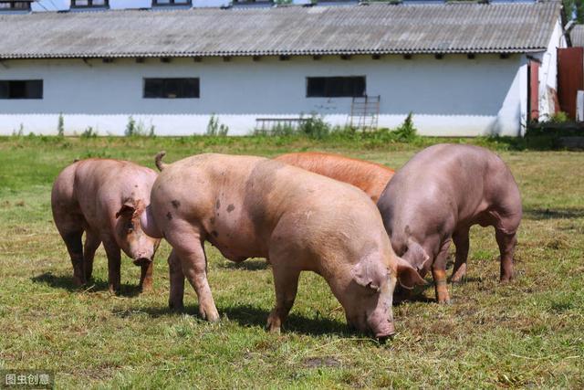 政策及养殖高利润的加持 国内种猪引种在加速