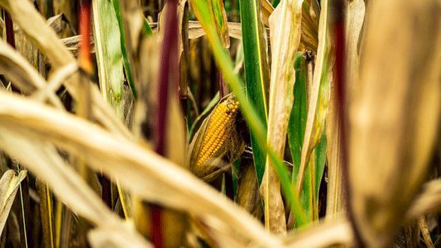 玉米价格上涨,已错过购买的黄金时期