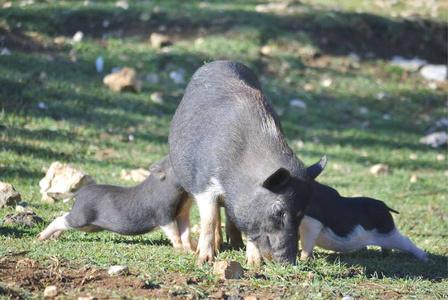 6月11日全国20公斤仔猪价格表,各省市仔猪价格稳中下调,局部仍高价运行!