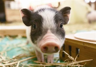 上旬生猪自繁自养盈利涨势不断 6月或高位震荡