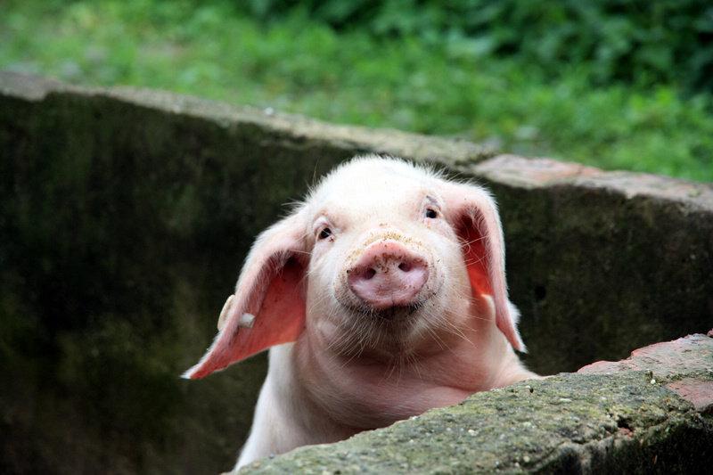 6月12日全国15公斤仔猪价格表,价格稳定,全国均价在1500元/头上下!