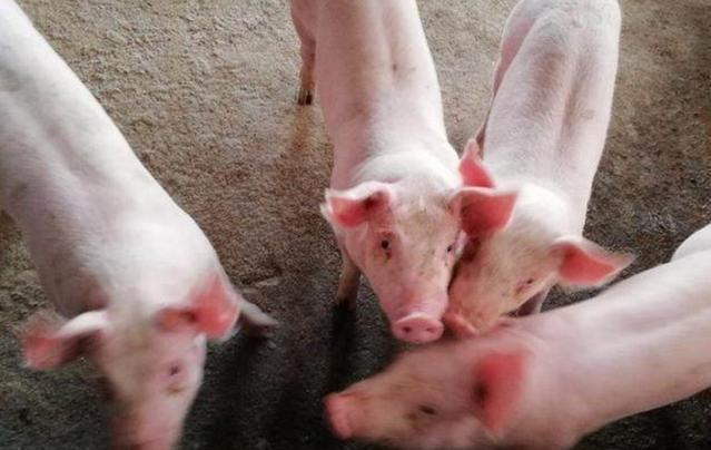 5月猪价暴跌,6月猪价震荡,那8、9月份猪价走势如何?答案来了