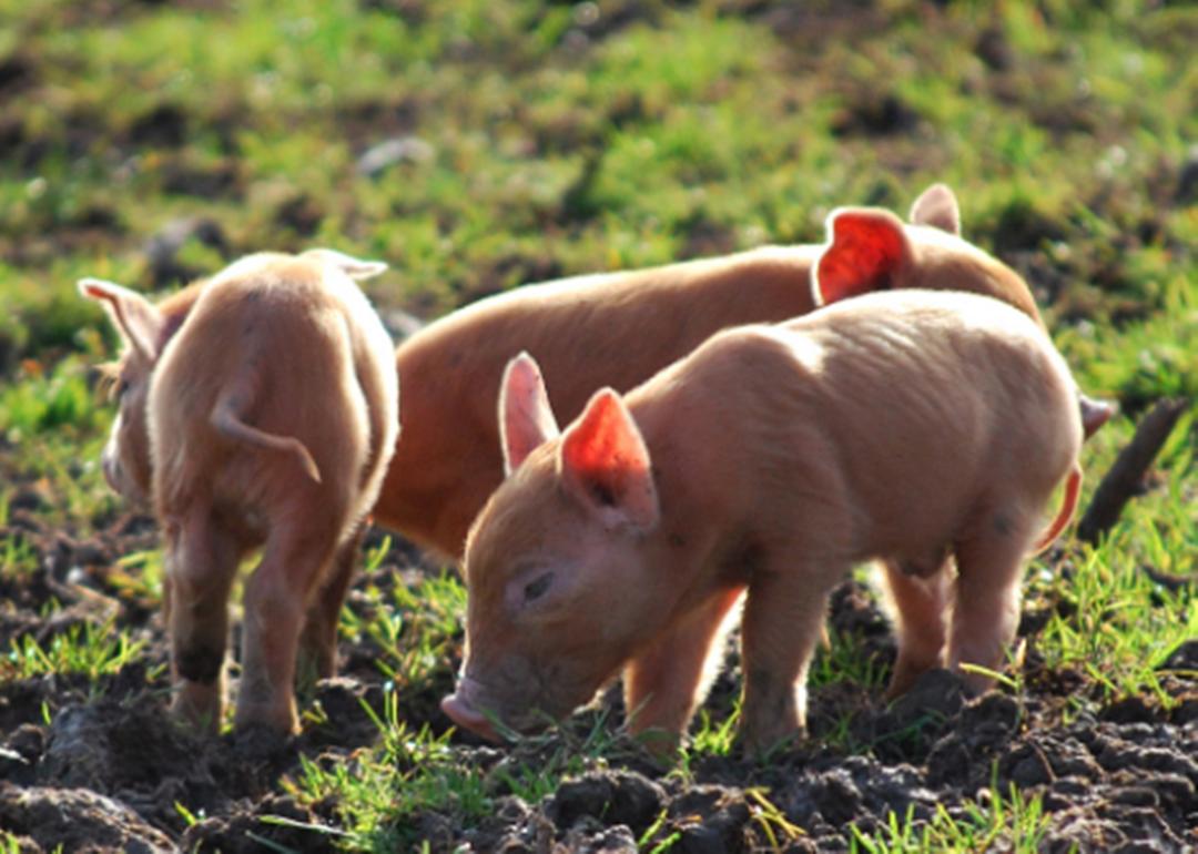 """广西南宁:""""3+1""""产业模式 推动全村贫困户发展生猪养殖"""