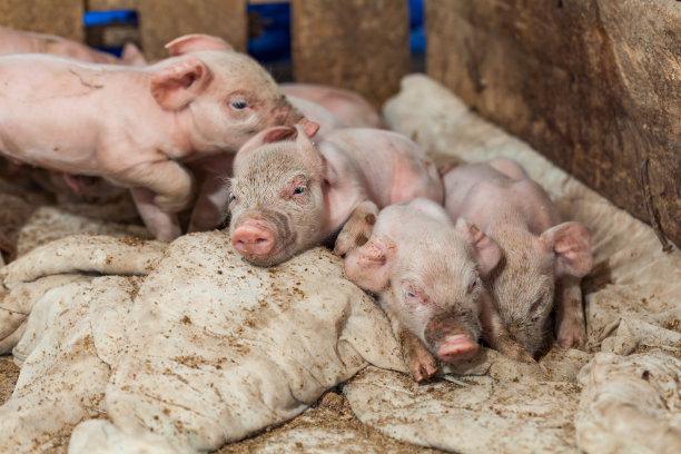 6月13日全国各地区种猪价格报价表,相较昨日价格,涨幅波动不大!