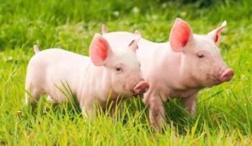 6月13日全国20公斤仔猪价格表,整体价格较为稳定,局部仍位高价!