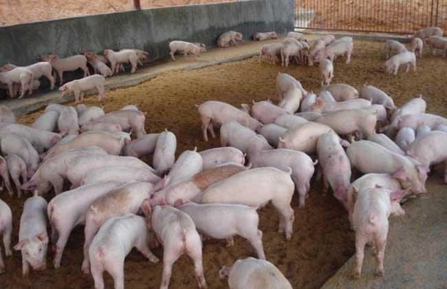 6月13日全国10公斤仔猪价格表,广东地区价格依旧处于价格高位!
