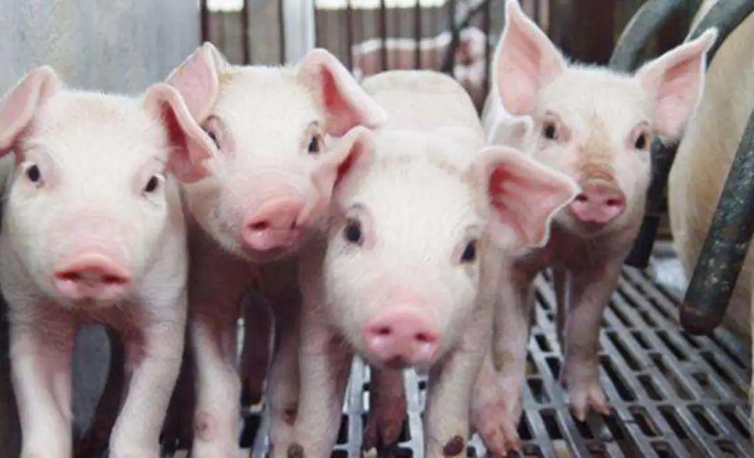 70%的非瘟发病猪场在饮水中检出病毒?!防控、替抗该怎么办?