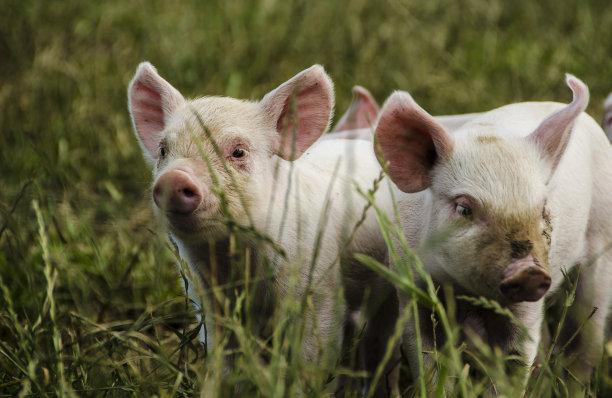 6月14日全国20公斤仔猪价格表,四川中江20公斤内三元每头仔猪价格低至1100元!