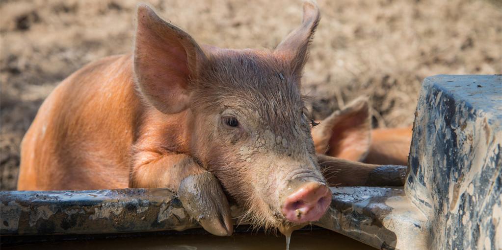 云南曲靖:快速推进生猪规模化养殖