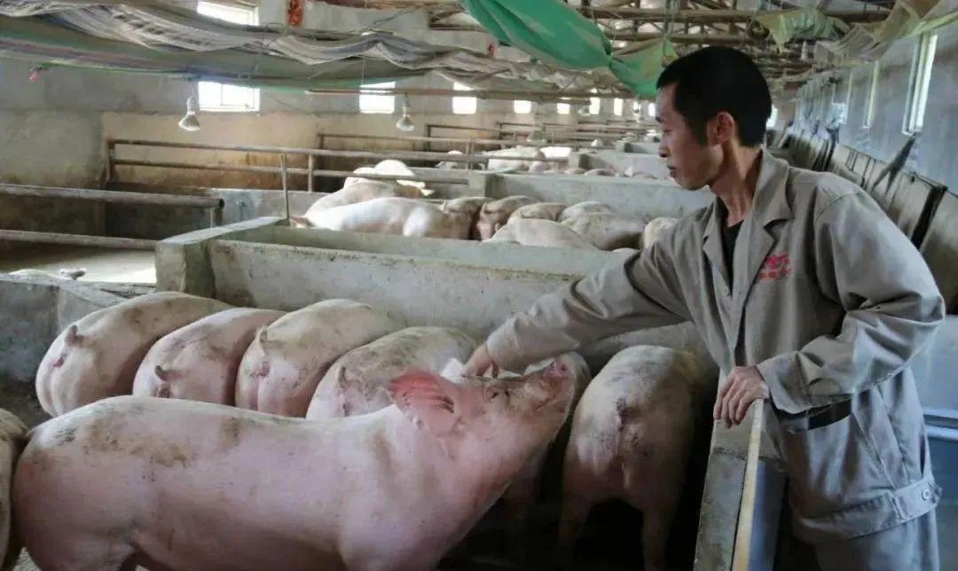 7月1日起,从事生猪收购贩运单位和个人实行全国统一编码