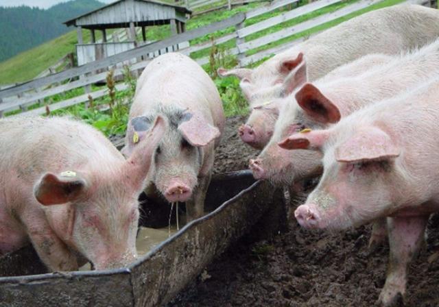 河南南阳一猪场面临拍卖,只因养猪人还不起欠款……这时法官出手了