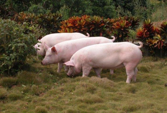 受多省鼓励发展家庭农场生猪养殖影响,猪肉概念涨势强劲,龙大肉食涨停
