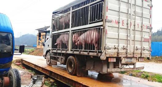 """黎平县矮枧社区:""""金猪""""拱开脱贫致富门"""