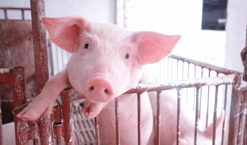 6月17日全国10公斤仔猪价格表,安徽内三元仔猪均价高于外三元!
