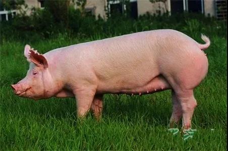 调控后备母猪的体况以获得最佳的繁殖性能