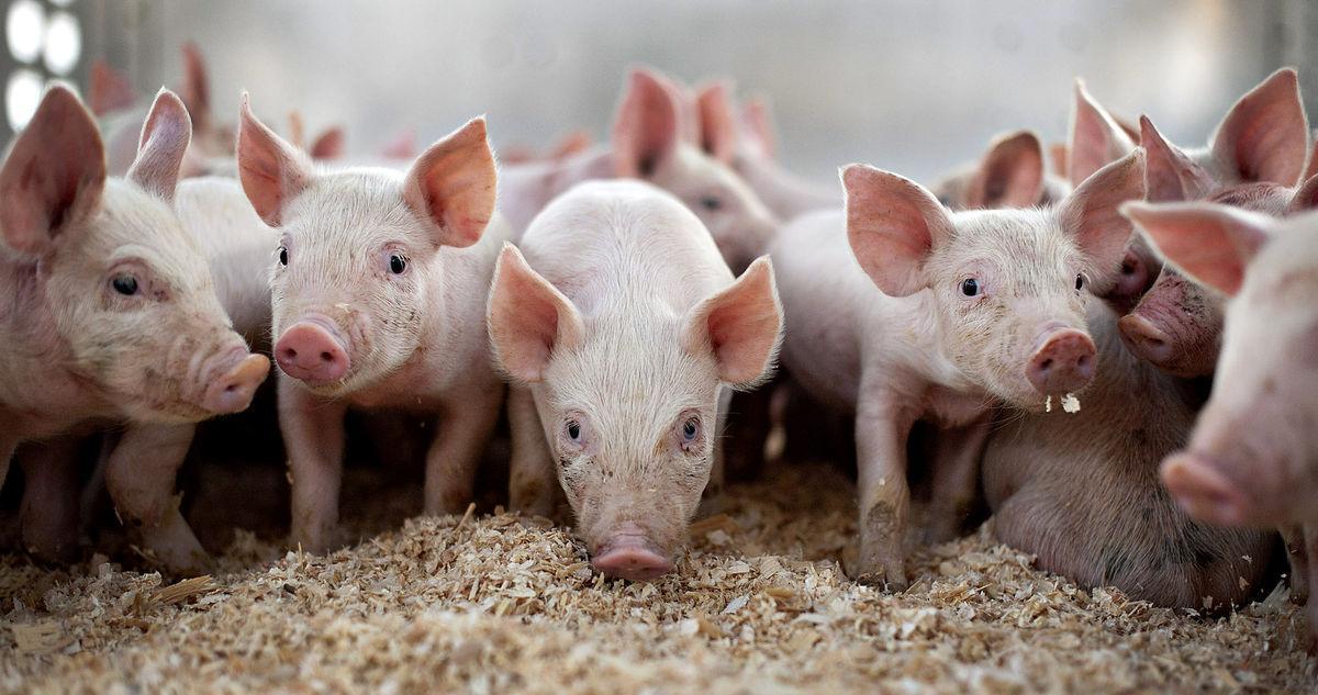 6月18日全国10公斤仔猪价格表,福建上杭外三元仔猪价格高达2600元/公斤!