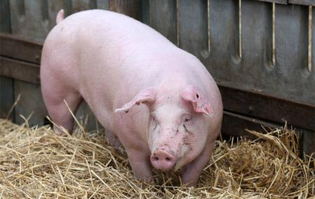 山东夏津:生猪价格仍将维持高位运行!