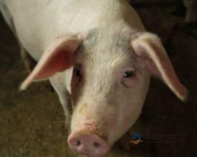 贵州关岭:引进30万头生猪养殖项目
