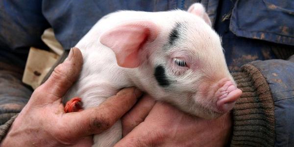 6月19日全国10公斤仔猪价格表,上海仔猪均价最高,山东地区局部仔猪价格低至千元内!