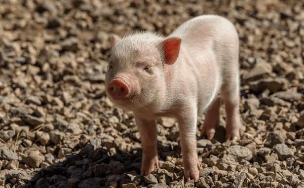 生猪养殖关键期,饲养管理很重要,应采取以下措施