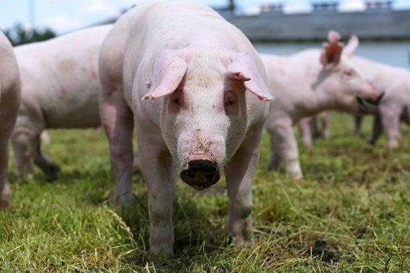 """下半年猪企将""""放量补价"""",业内预计猪价""""11-13"""",是真的吗?"""