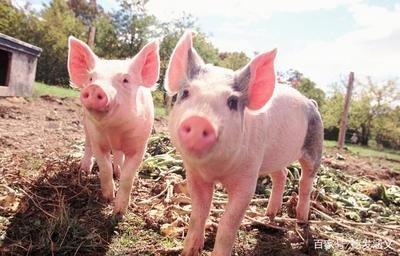 6月22日全国20公斤仔猪价格表,内三元仔猪价格持续下滑,外三元价格较为稳定!