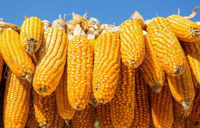 本周玉米拍卖数量激增至600万吨 玉米价格要跌了吗