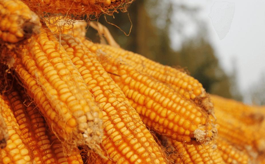 现阶段玉米价格高位震荡 谨防回调风险