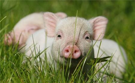 6月23日全国15公斤仔猪价格表,局部保持上涨,广东继续高位运行!