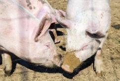 6月23日全国内三元生猪价格行情,以上涨为主,但储备肉投放或将抑制猪价上涨?