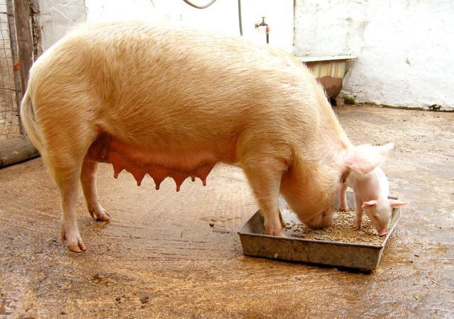 繁育管理:怀孕安胎期,母猪一定要减料吗?