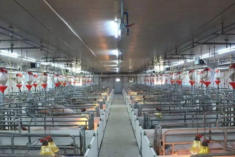 猪场指标提升对经济效益影响有多大!