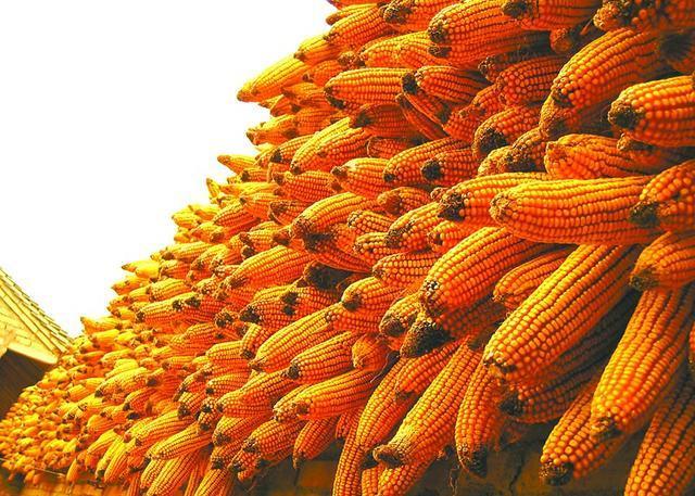 玉米价格持续上涨国家放大招调控 提高拍卖保证金缩短付款周期